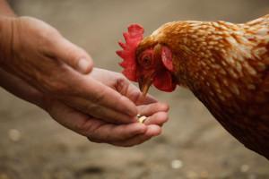 Hühner Nahrung