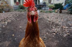 Lustiges Huhn