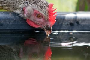 Wasser trinken Huhn