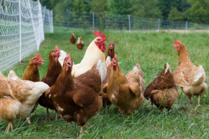 Hühnerhaltung ohne Hahn
