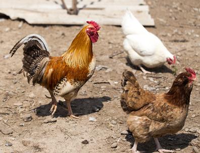 Auslauf Hühner