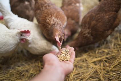 Futter Hühner