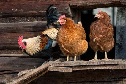 Hühner Auslauf