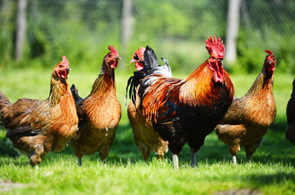 Hühner Garten