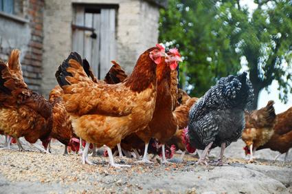 Hühnerherde
