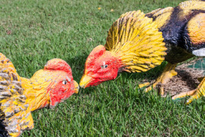 Hühnerkampf