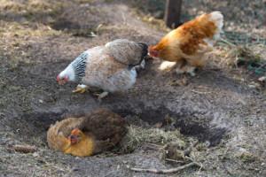 Hühnernest