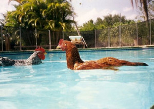 Können-Hühner-schwimmen-2
