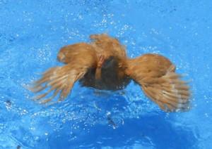 Können-Hühner-schwimmen
